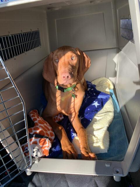 Vizsla puppy in crate